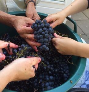 ontstelen en pletten van druiven